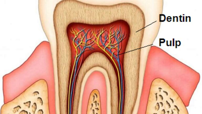 Parts of the Tooth: General Information